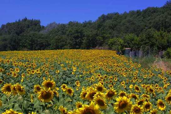 Sunflower-field-Tuscany-650w